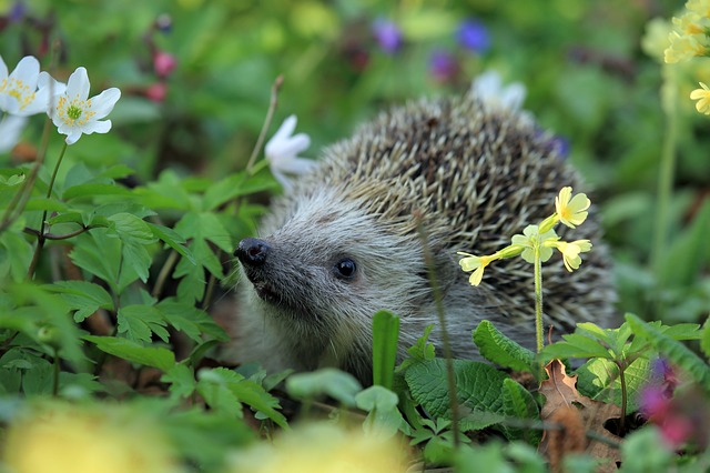 hedgehog-548335_640